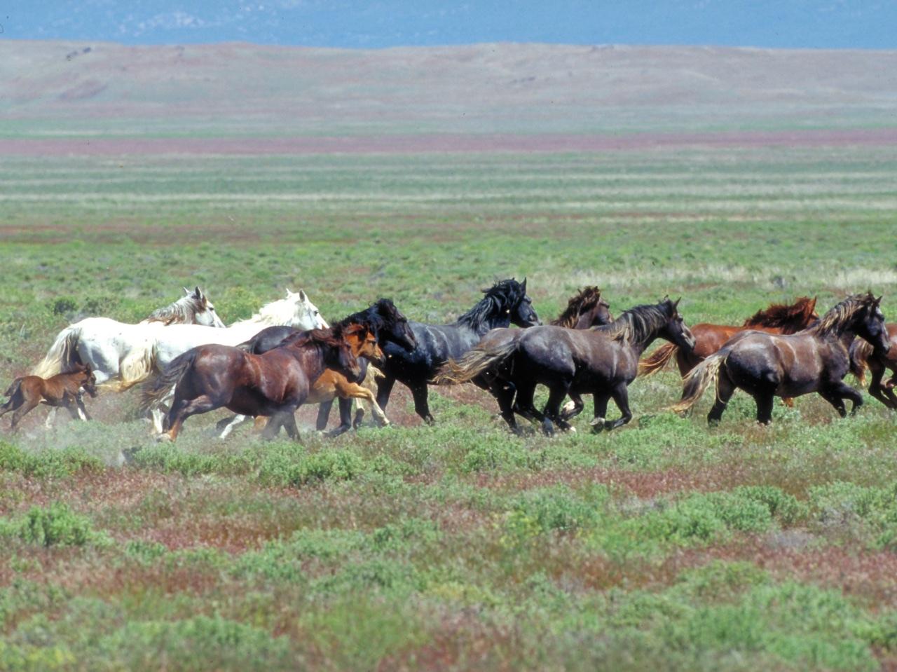 Onaqui Herd near Dugway, Utah.